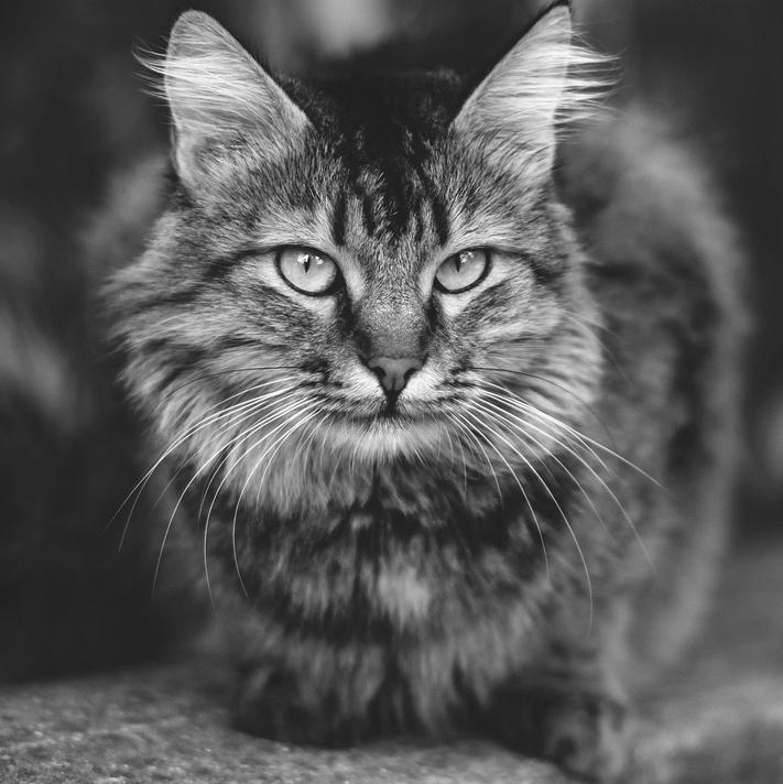 Animal Hospital in Wilkesboro: Cat Laying On Carpet