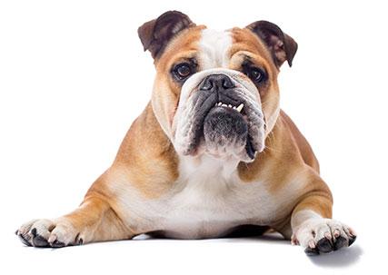 Animal Hospital in Wilkesboro: Dog Laying Down